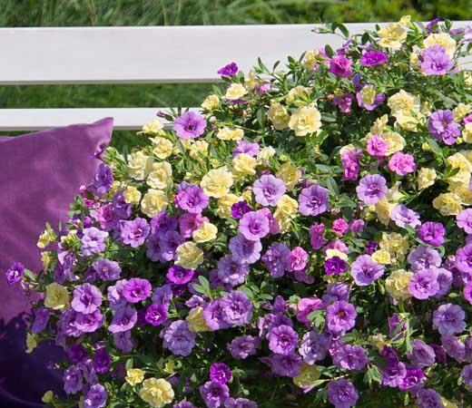 Make it easy balkon und gartenbepflanzung leicht gemacht - Calibrachoa trixi ...